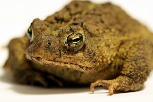 Do Toads Cause Warts?